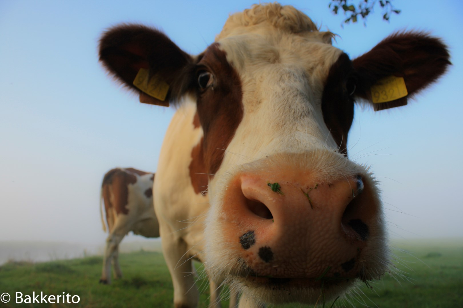 Curious cow in the meadow with mist